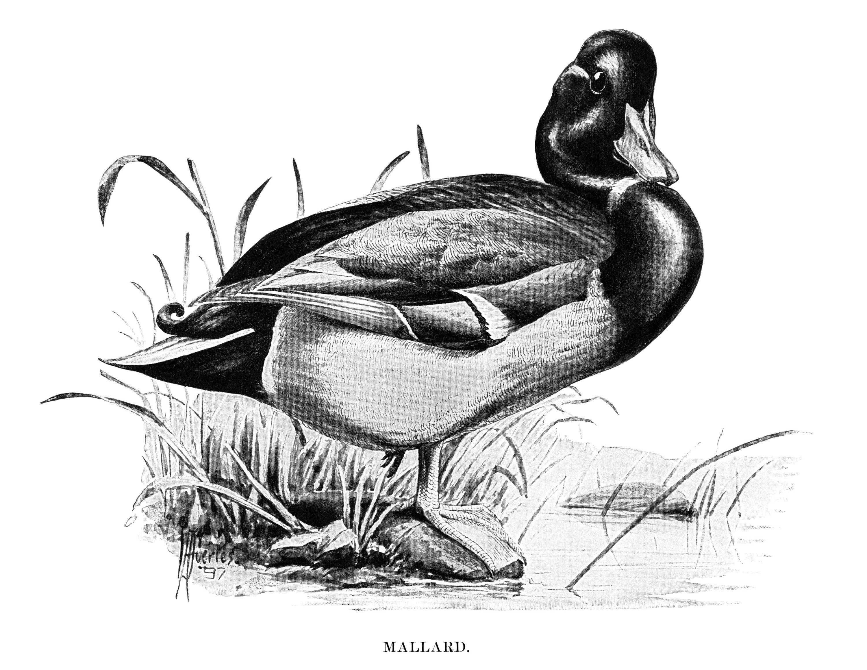 duck clip art mallard illustration black and white graphics
