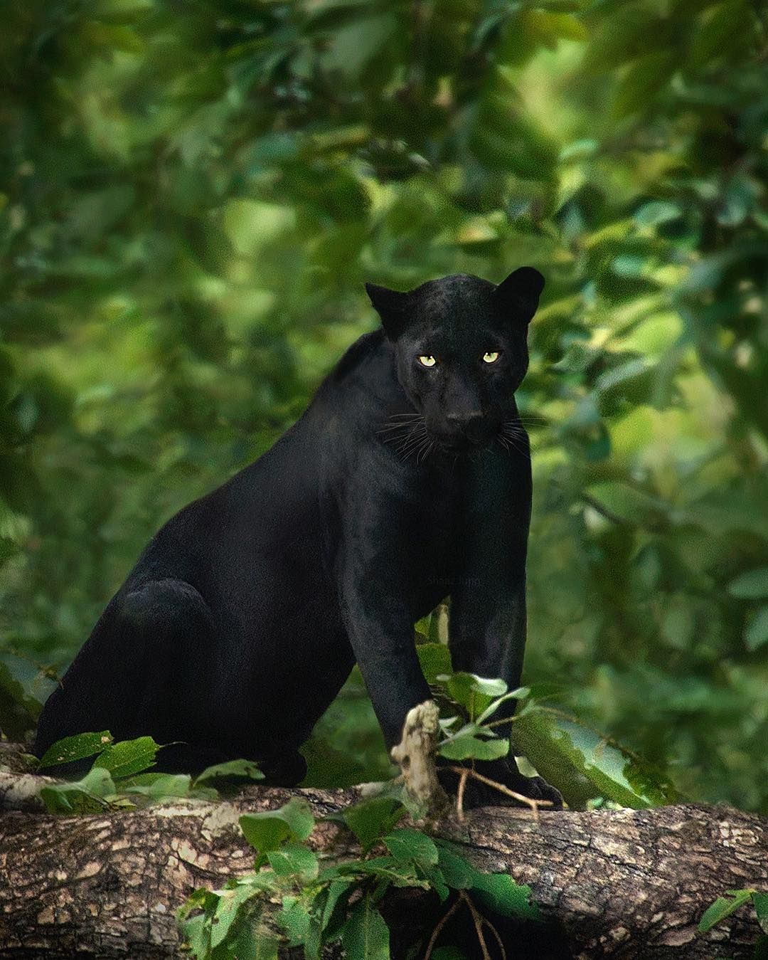 """Black Panthers Panthers And Black On Pinterest: Beautiful-wildlife: """"Black Panther By"""