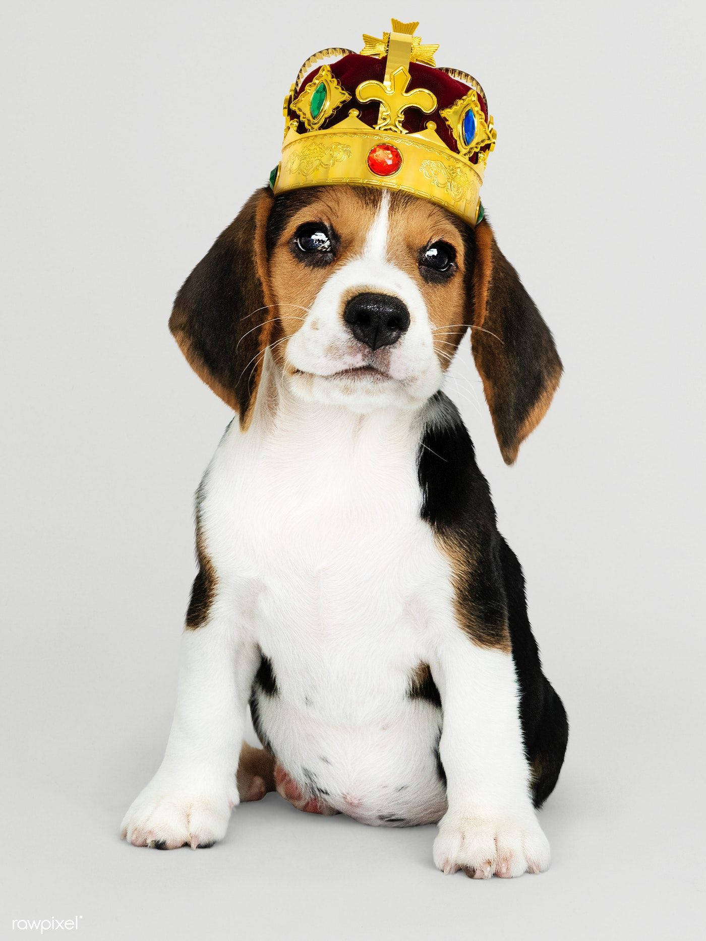 Free Week Of Dogtv On Directv Beagle Puppy Begal Puppies Cute