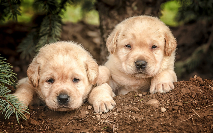 Download Wallpapers Golden Retriever Puppies Cute Little Dogs