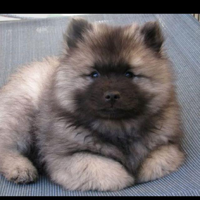 Download Pupies Chubby Adorable Dog - dd645d6b42b17e30477762d758001ec9  Trends_197786  .jpg