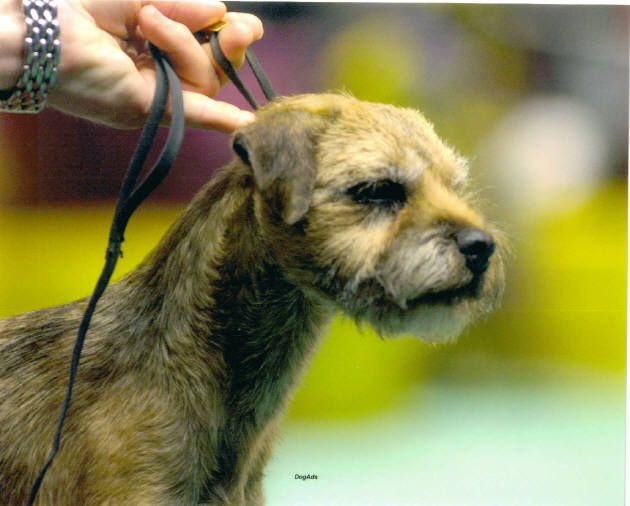 Arizona Border Terrier Breeder Otley Kennel Arizona Border Terrier