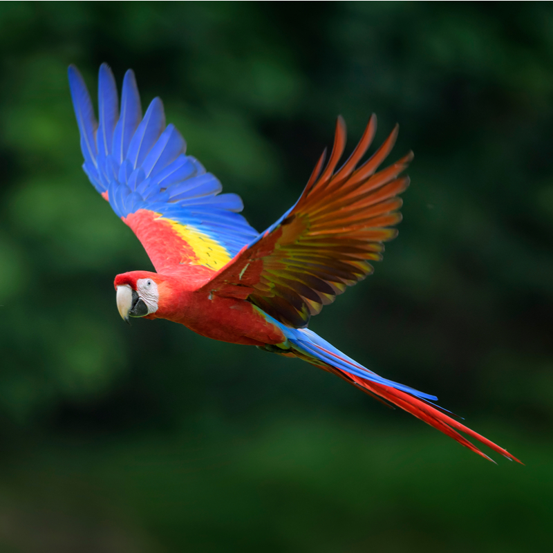 Scarlet Macaw • Facts • Rainforest Animals in 2020