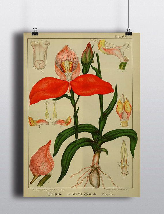 Antique Orchid Botanical Diagram Print Poster Science Chart Flowers ...