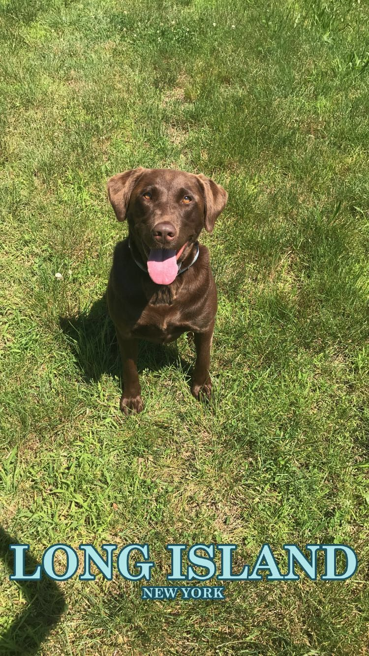 This Is My 2 Year Old Chocolate Labrador Retriever Named Zoe She