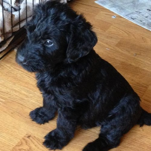 Schnoodle For Sale In Sunbury Giant Schnauzer And Standard Poodle Mix So Large Dog Schnoodle Puppy Schnoodle Standard Poodle Mix