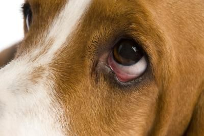 Eye Allergies In Dogs Dog Allergies Dogs Itchy Eyes Allergies