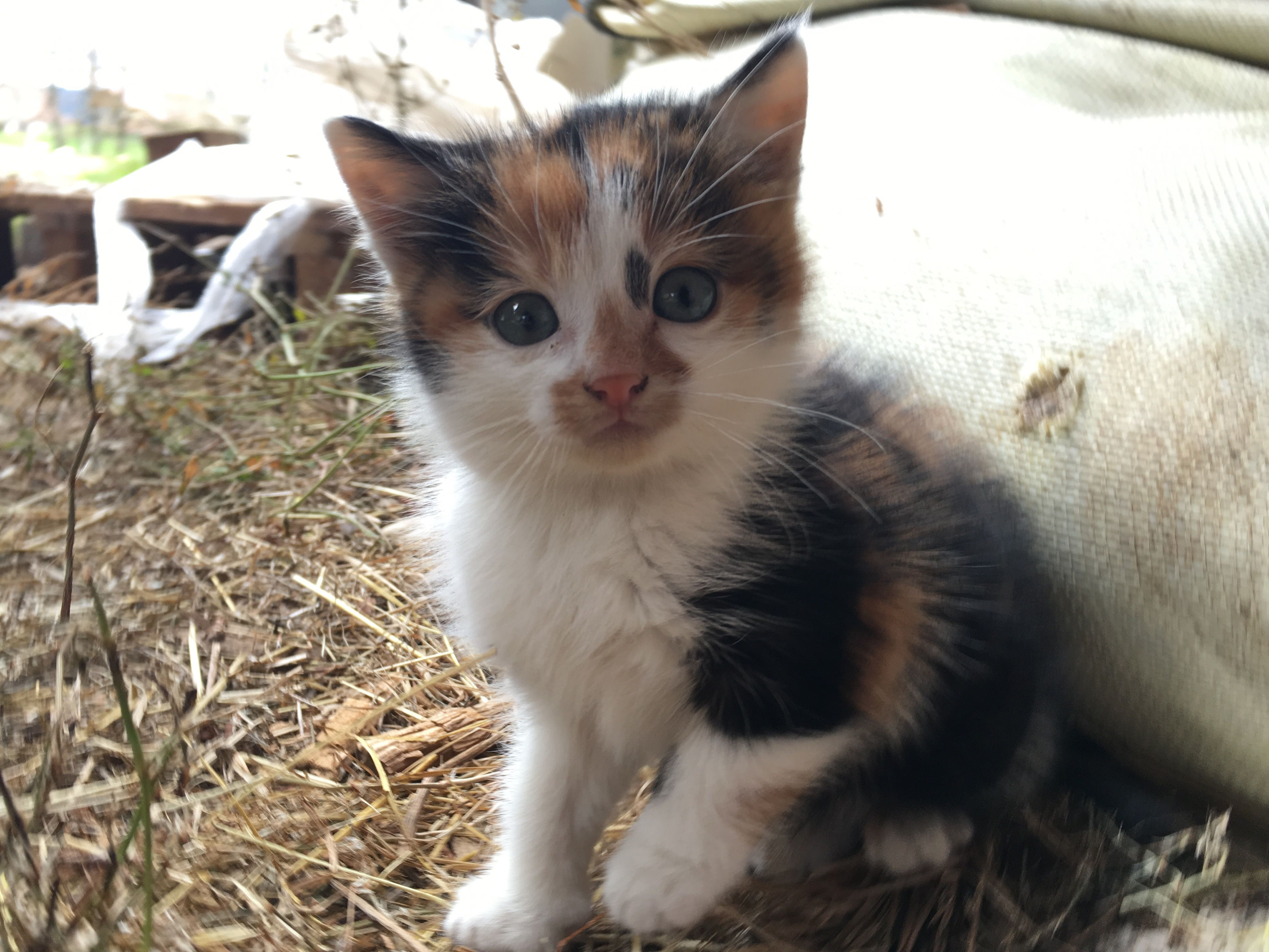 Calico cat Wikiwand Cats Pinterest