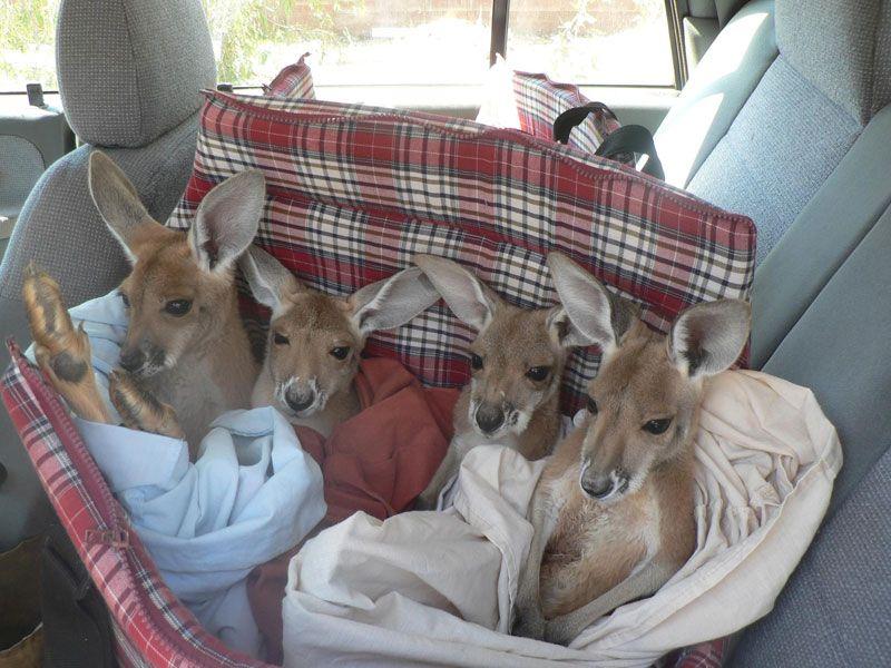 """Meet Brolga, """"Surrogate Mom"""" to Orphaned Baby Kangaroos in Australia - My Modern Met"""