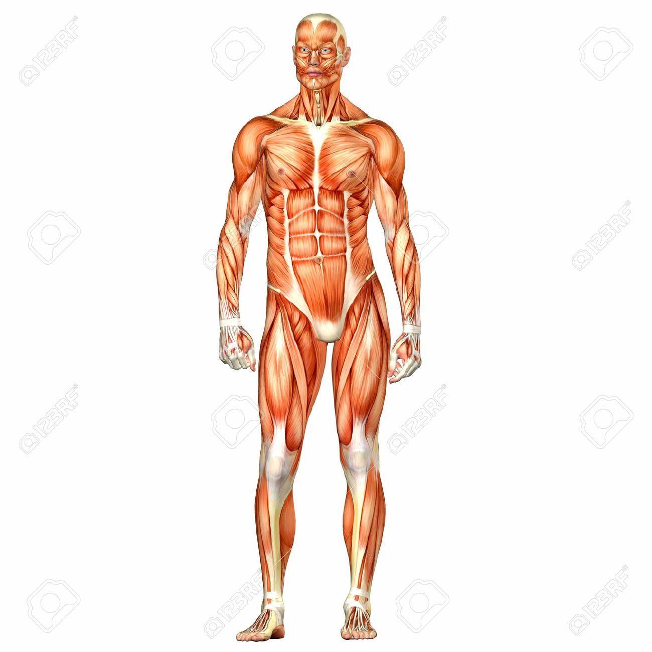 Ilustración de la anatomía del cuerpo humano masculino. Fondo blanco ...