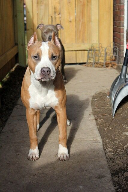 Stand Proud And Very Tall I Love Pitbulls This Is My Breed Once