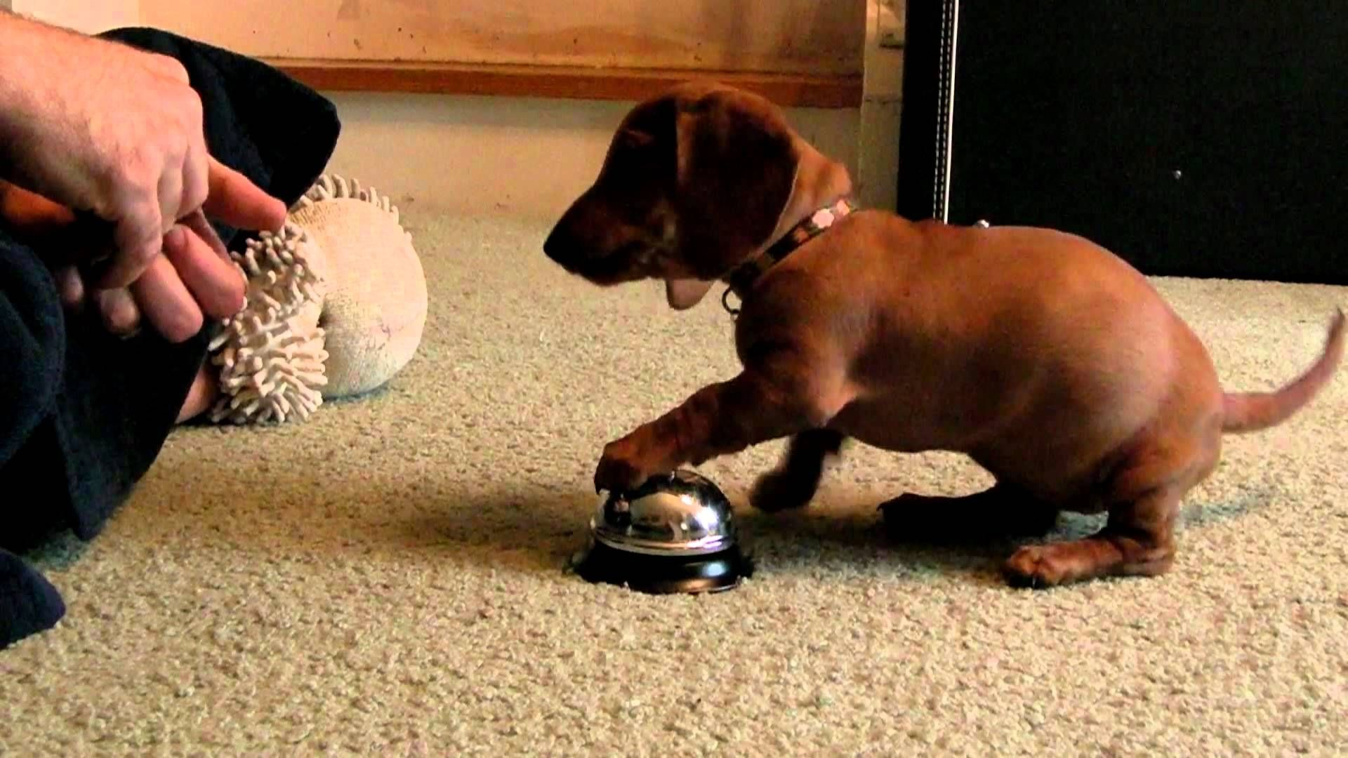 10 Week Old Dachshund Puppy Quickly Figures Out That She Ll Get A Treat If She Rings A Bell Dachshund Dachshund Love Puppies