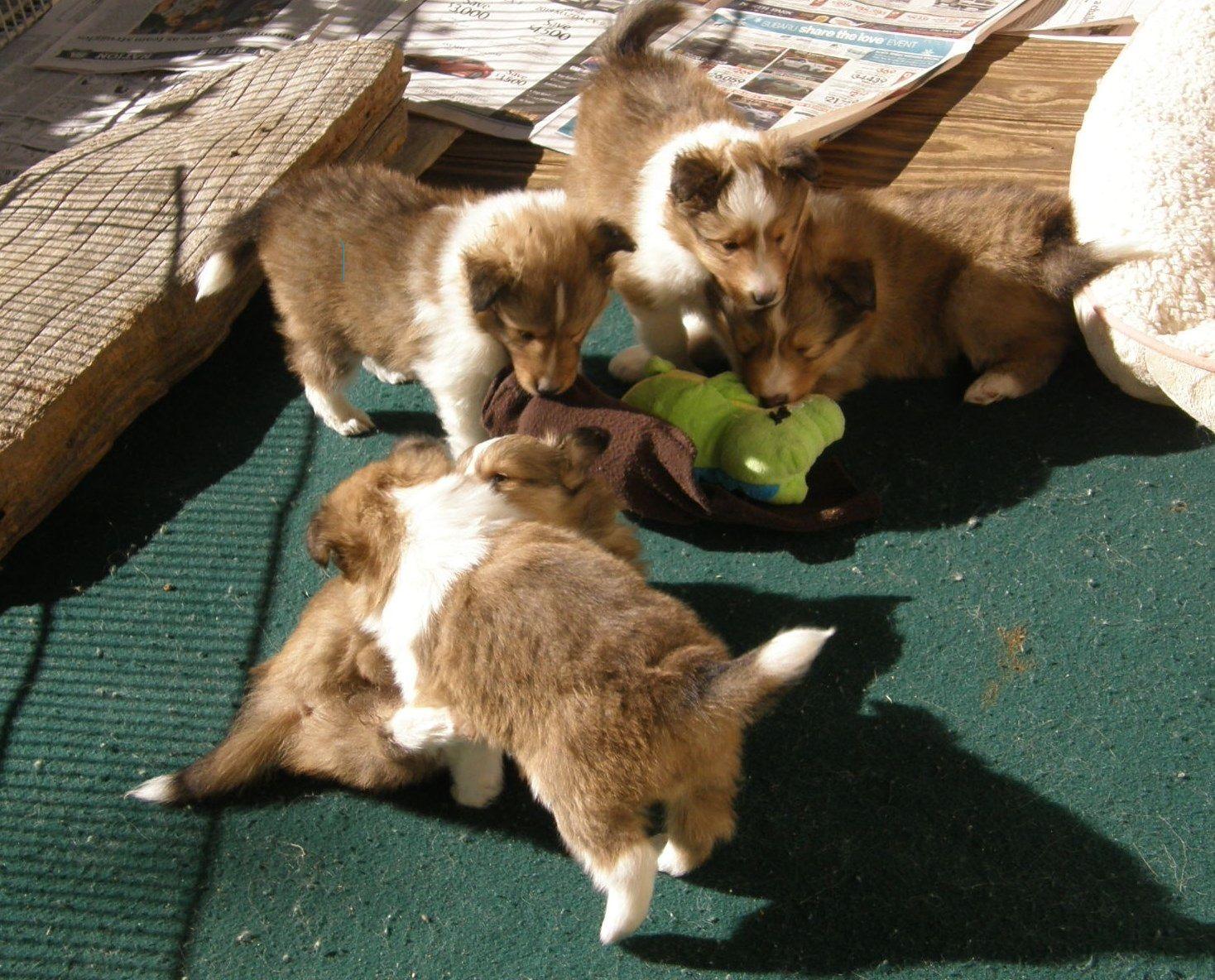 Texas Sheltie Breeders Sheltie Pups Shetland Sheepdog Puppy Lockehill Shelties Puppy Page In 2020 Sheltie Puppy Shetland Sheepdog Puppies Sheltie
