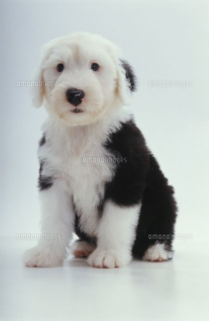 Old English Sheepdog pup I don't get non-fluffy dogs at all. No cuddle factor:)