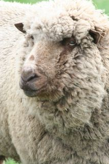 Cvm Romeldale Sheep Ralphie For Sale Baa Baa Black Sheep Goats Sheep