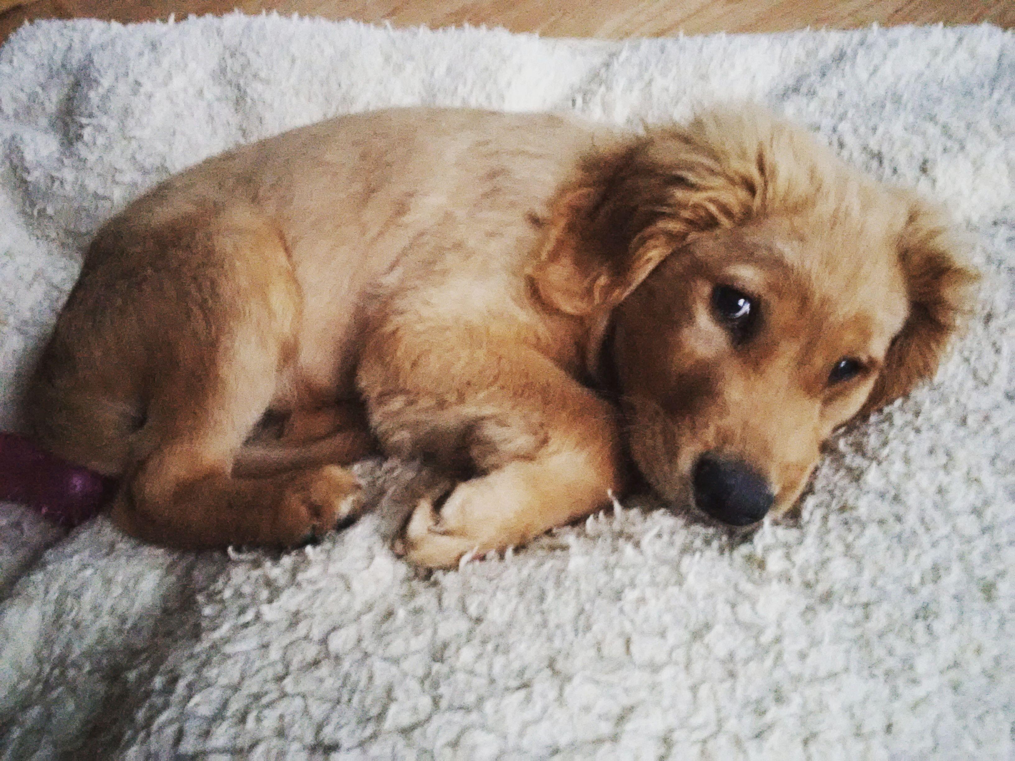 Golden Retriever Puppy 13 Weeks Old Service Dog Puppy In