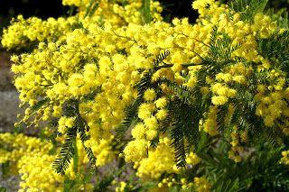 Acacia - Language of Flowers: Friendship
