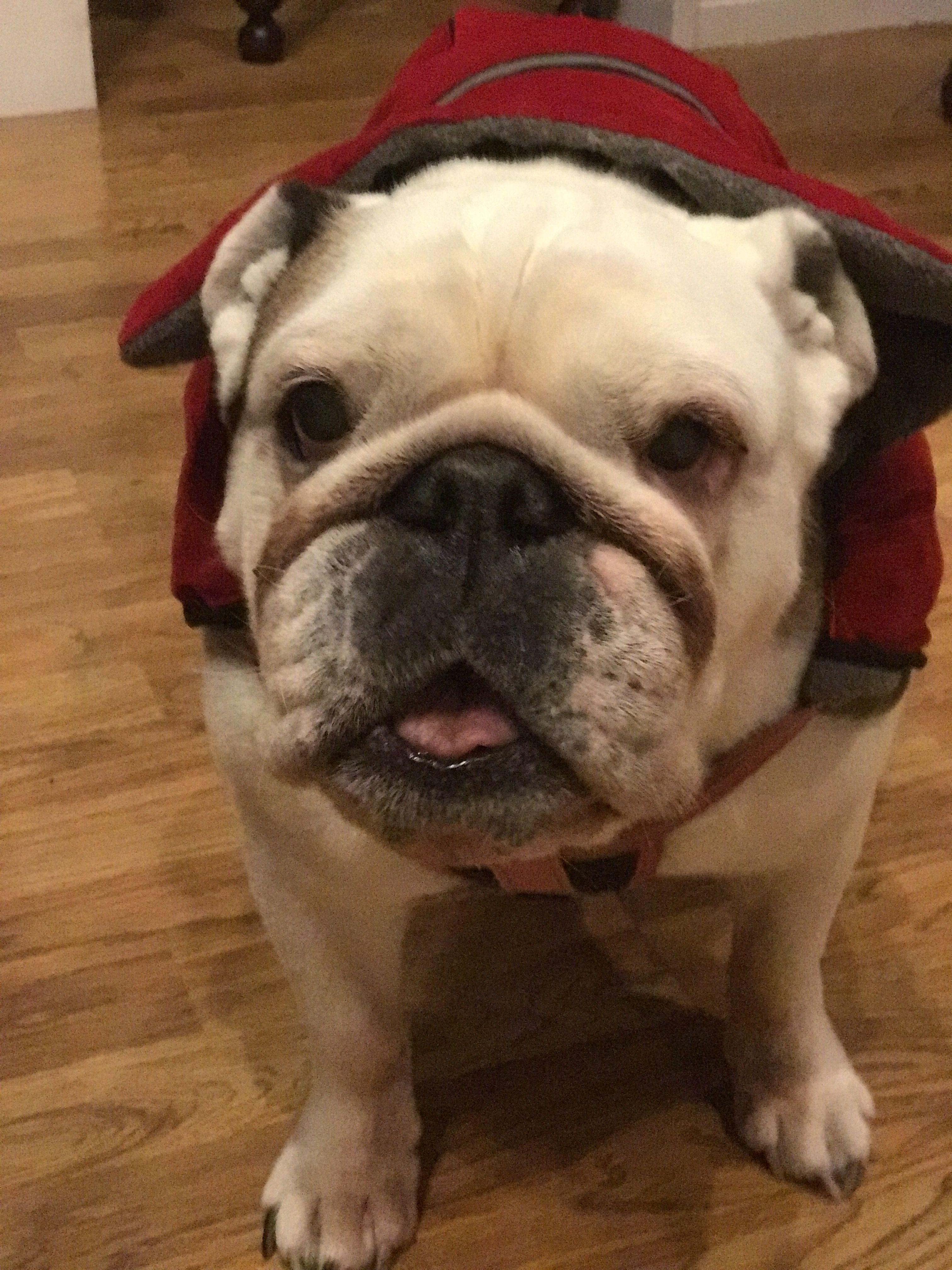 Mia our 10year old English Bulldog💜 English bulldog, Bulldog