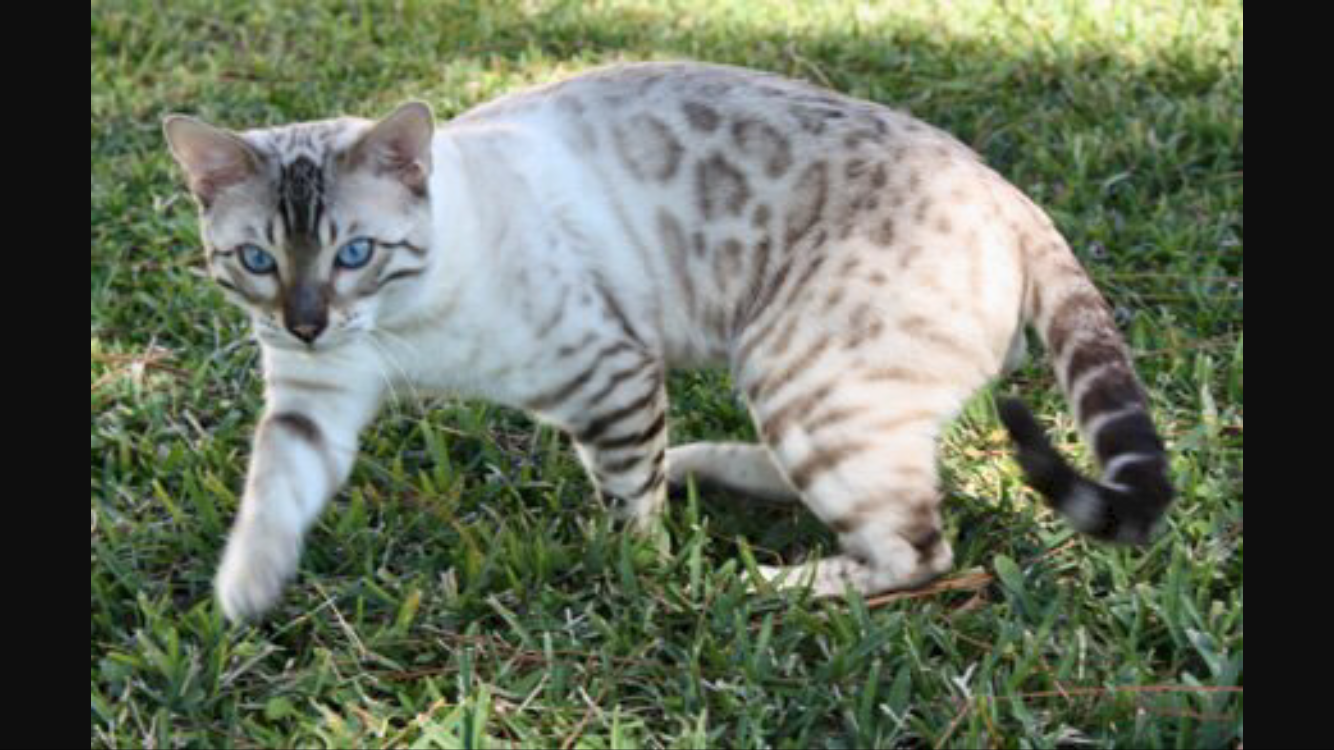 Pin by Amber on Cat Warriors Bengal kitten, Bengal cat