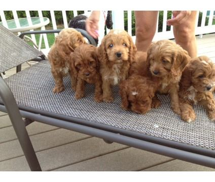 Cockapoo Puppies - 8 Weeks Old is a Female, Male Cockapoo Puppy For