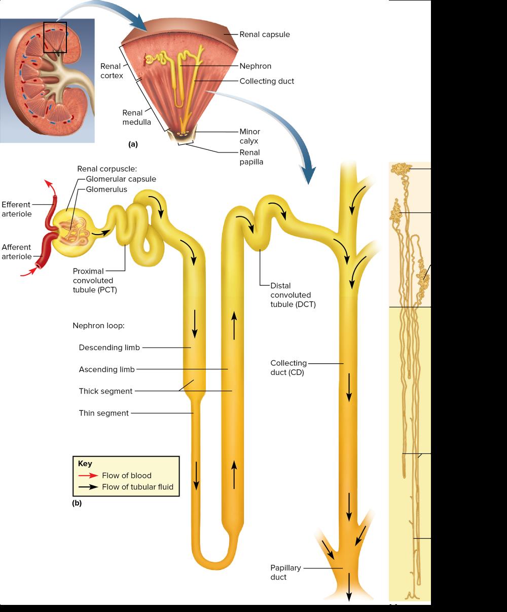 MHE Reader Anatomy, Capsule, Health
