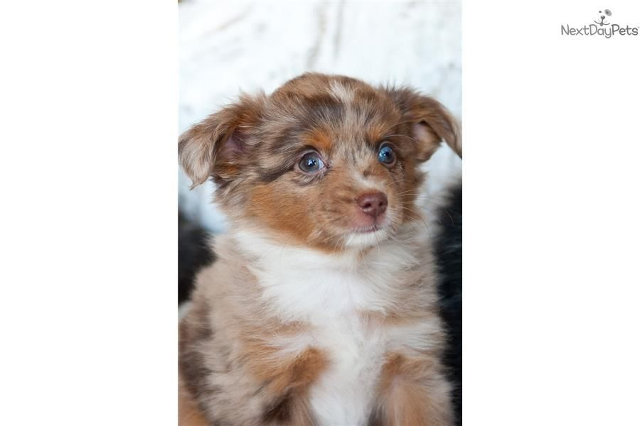 You Ll Love This Male Miniature Australian Shepherd Puppy Looking For A New Home In 2020 Australian Shepherd Miniature Australian Shepherd Australian Shepherd Puppies