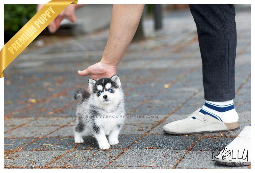 Sold To Jones Blue Pomsky M Pomsky Dog Teacup Puppies