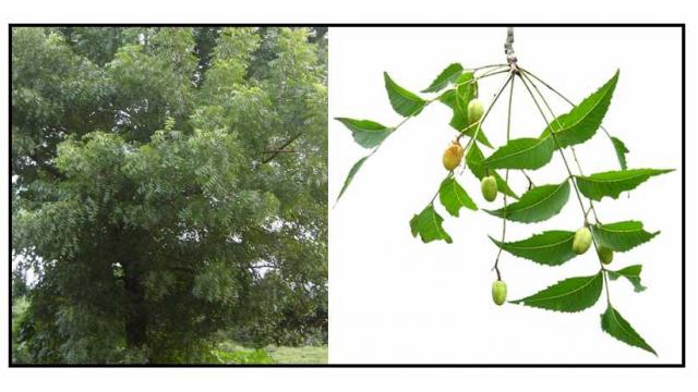 Neem Tree An Extraordinary Useful Plant For Human Health Plants Azadirachta Indica Neem