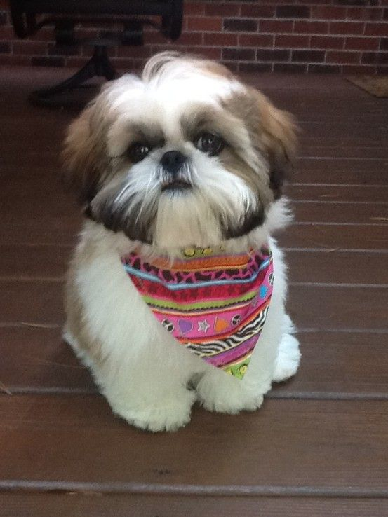 My Sweet Boy Max Shih Tzu Puppy Shih Tzu