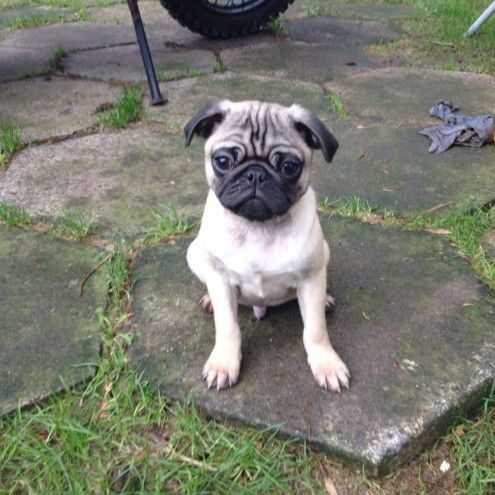 Beautiful Pug Puppies For Sale Preston Lancashire