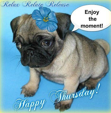 Happy Thursday Pug Via Www Facebook Com Relaxrelaterelease