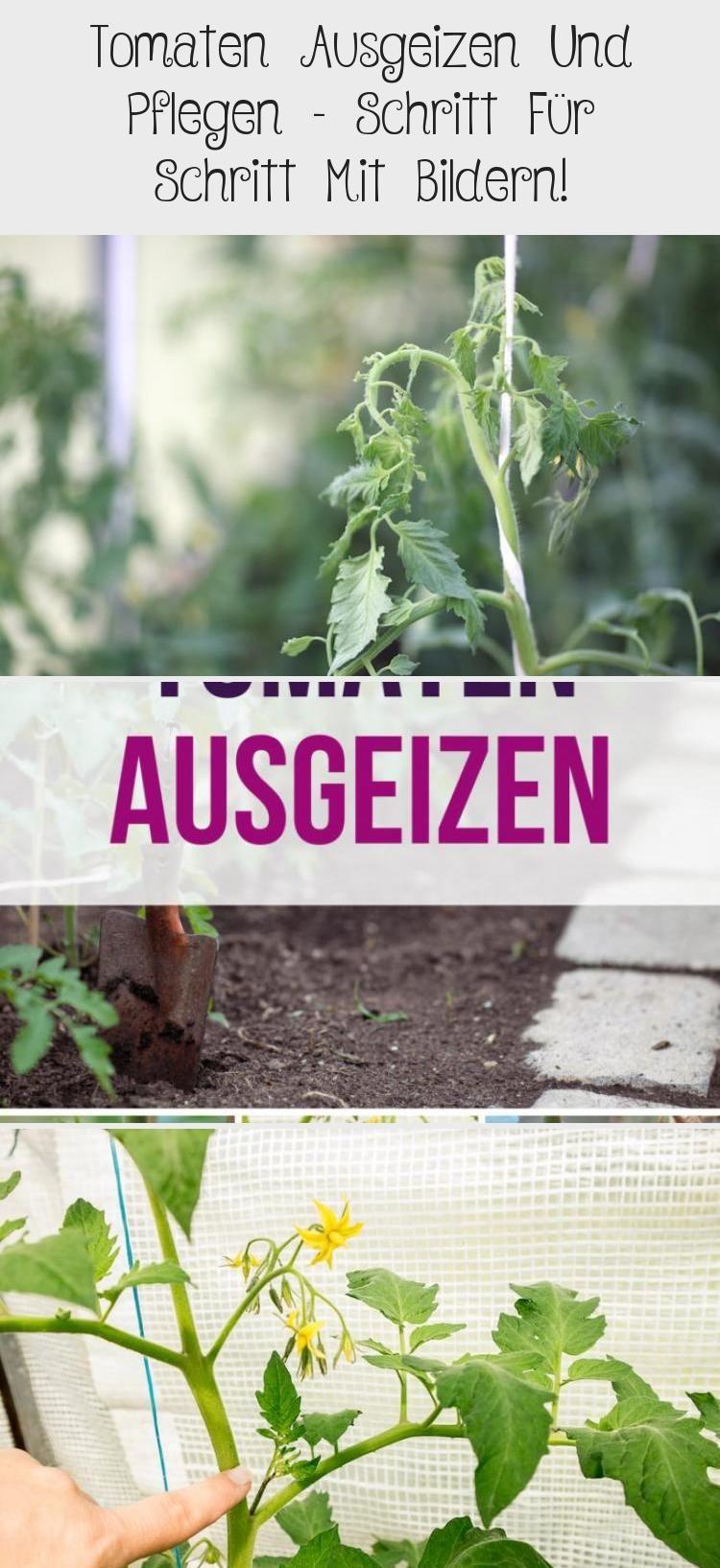 Tomaten Ausgeizen Und Pflegen Schritt Fur Schritt Mit Bildern In 2020 Uncategorized Herbs Plants