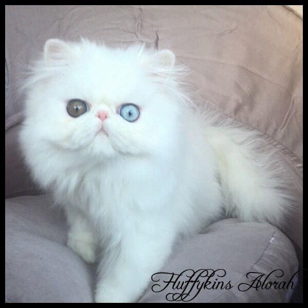 Fluffykins Alorah Odd Eyed White Persian Kitten Fluffykins Cattery Australia Heterochromia Persian Wh White Persian Kittens Kitten Breeds Persian Kittens