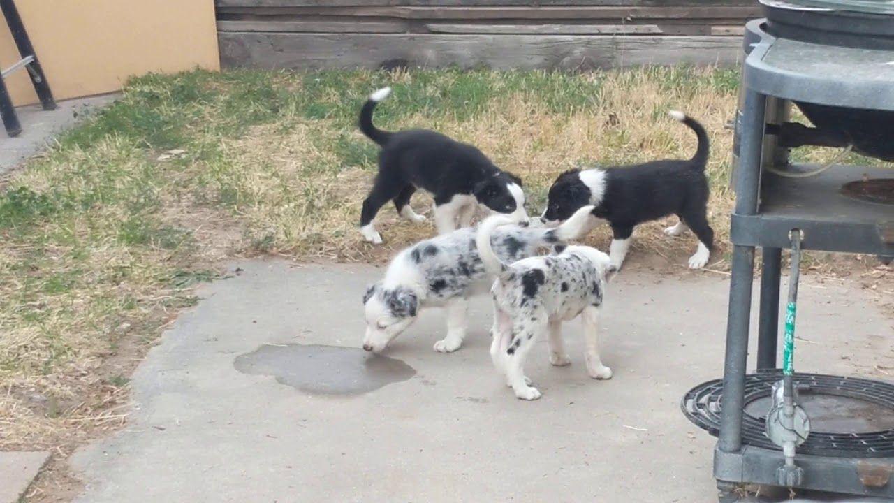 Border Collie Blue Heeler Mix Puppies Sugar Border Collie
