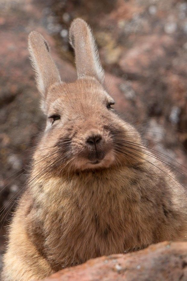 southern viscacha google search repinned by elizabeth vanbuskirk animals of peru projects. Black Bedroom Furniture Sets. Home Design Ideas