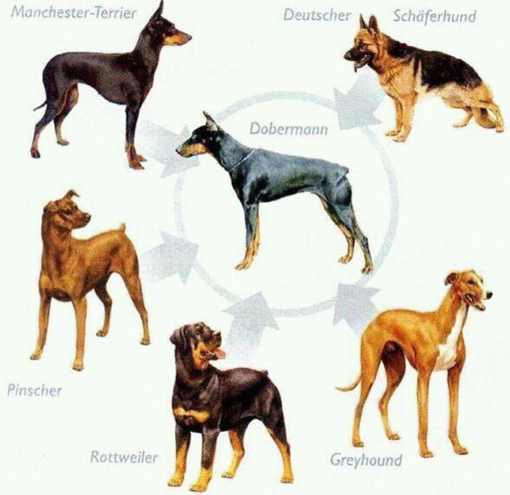 Doberman dogs image by Carla Findlay on Dobies Dog