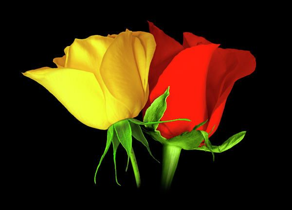 Yellow Red Roses Yellow Rose Flower Red And Yellow Roses