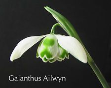 Galanthus AILWYN  a perfect early double snowdrop.
