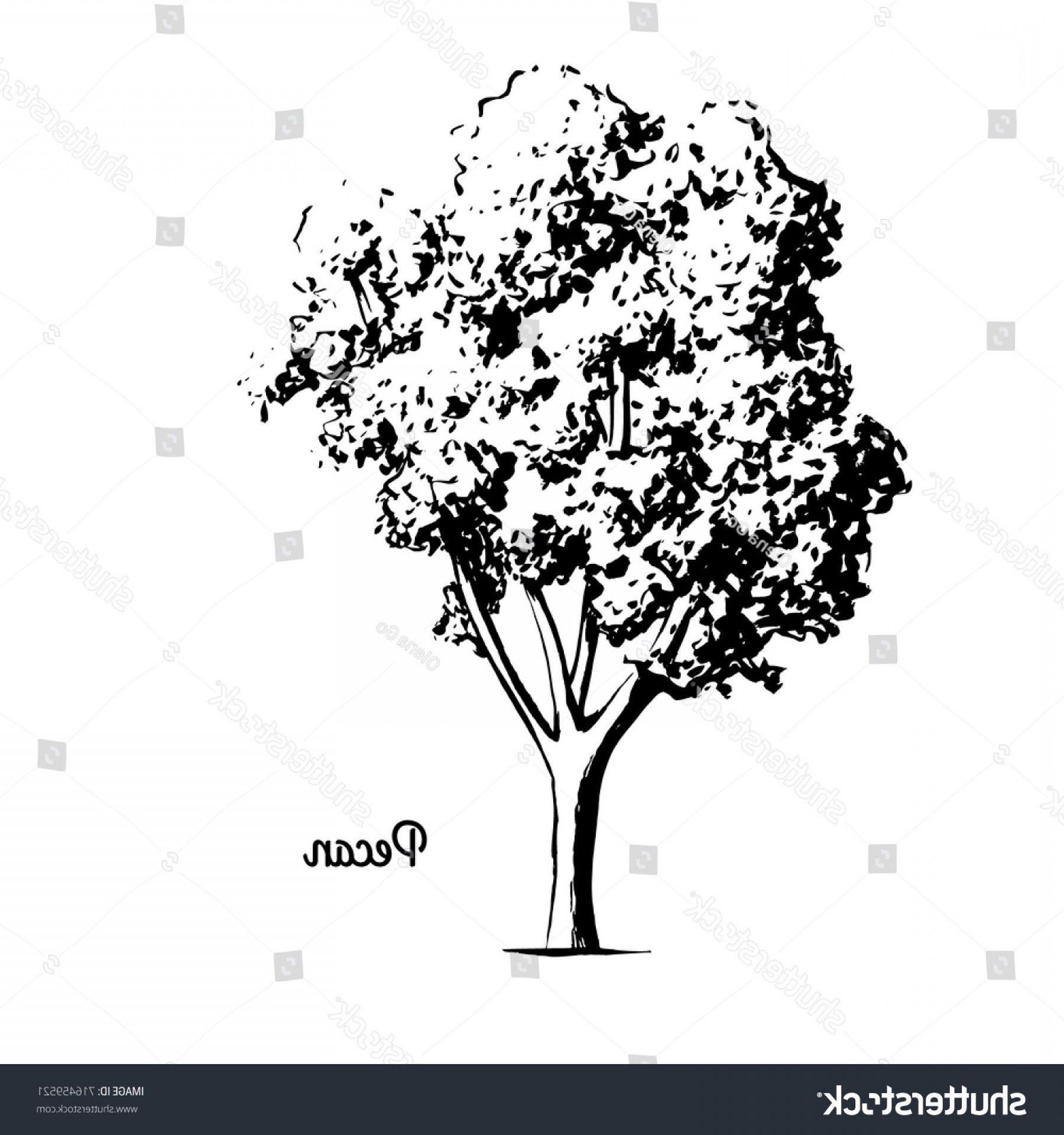 Vector Sketch Illustration Pecan Tree Black Vector Sketch Pecan