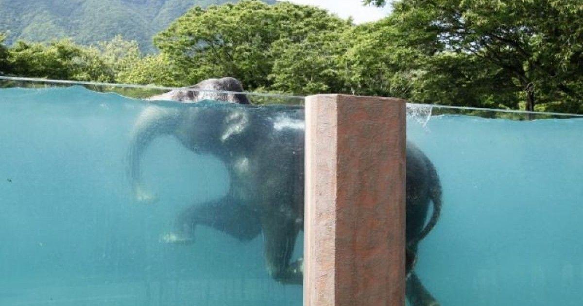 Video: ZOO postavila slonom obrovský presklenný bazén. http://www.dobrenoviny.sk/c/51344/zoo-postavila-slonom-obrovsky-presklenny-bazen  #slon #elephant #bazén #pool #zoo