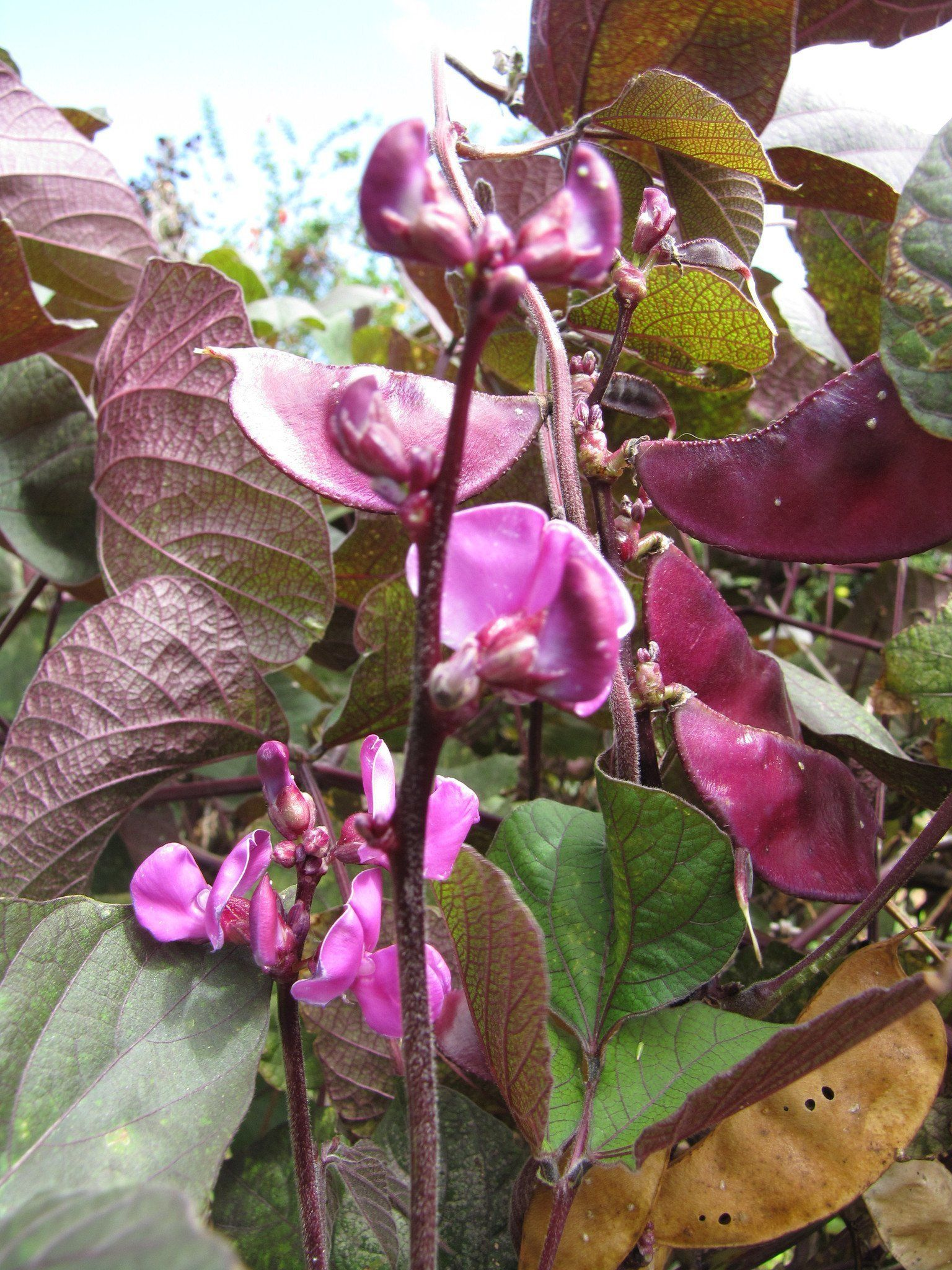 Purple Lablab purpureus BEAN VINE Asian Vegetable
