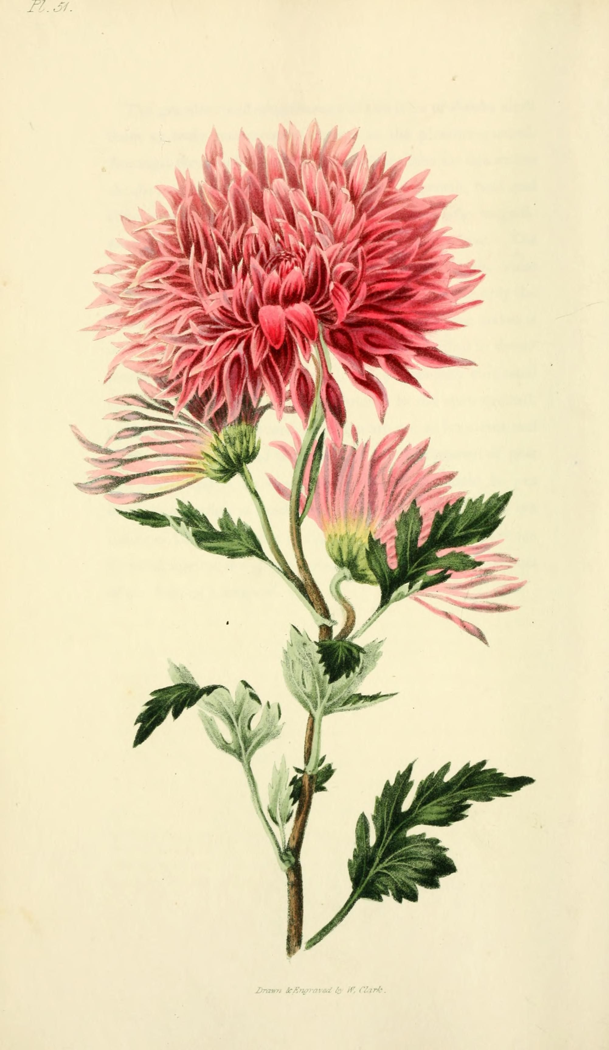 Chrysanthemum morifolium Ramat. | botanical illustration ...