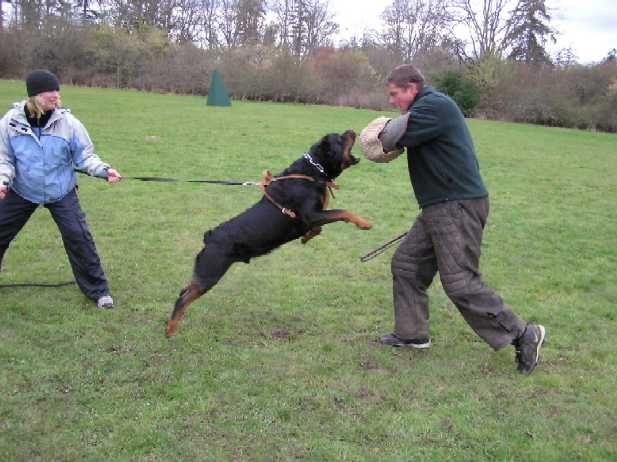 Rottweiler Schutzhund Schutzhund Rottweiler Rottweiler Love