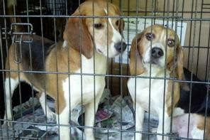 Breaking Beagle Freedom Project Rescues 7 Laboratory Beagles From