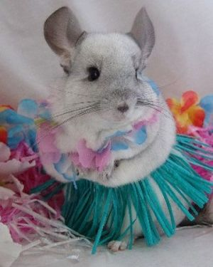 A Chinchilla Viral Dojo Chinchilla Cute Chinchilla Pet Cute Animals