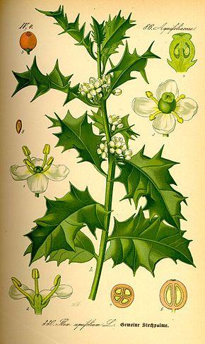 Le Houx (Ilex aquifolium L., 1753) est une espèce d'arbustes, ou de petits arbres, à feuillage persistant de la famille des Aquifoliacées, couramment cultivés pour leur aspect ornemental, notamment grâce à leurs fruits rouge vif. C'est l'une des très nombreuses espèces du genre Ilex, et la seule qui pousse spontanément en Europe.