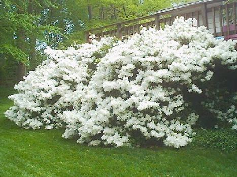 White Azaleas Azaleas Landscaping White Azalea Garden Shrubs