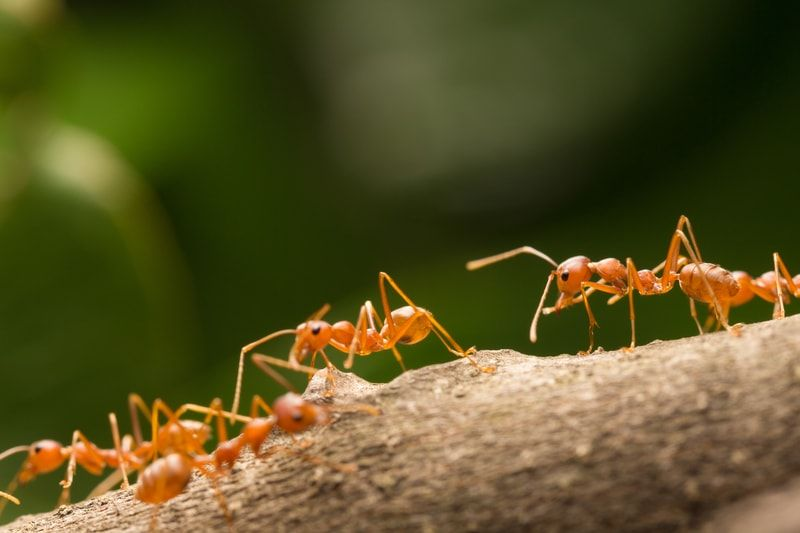 What Are Those Big Red Ants In My Yard Ants Get Rid Of Ants Termite Control