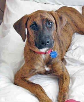 Plott Hound-one of the best dogs I have ever owned