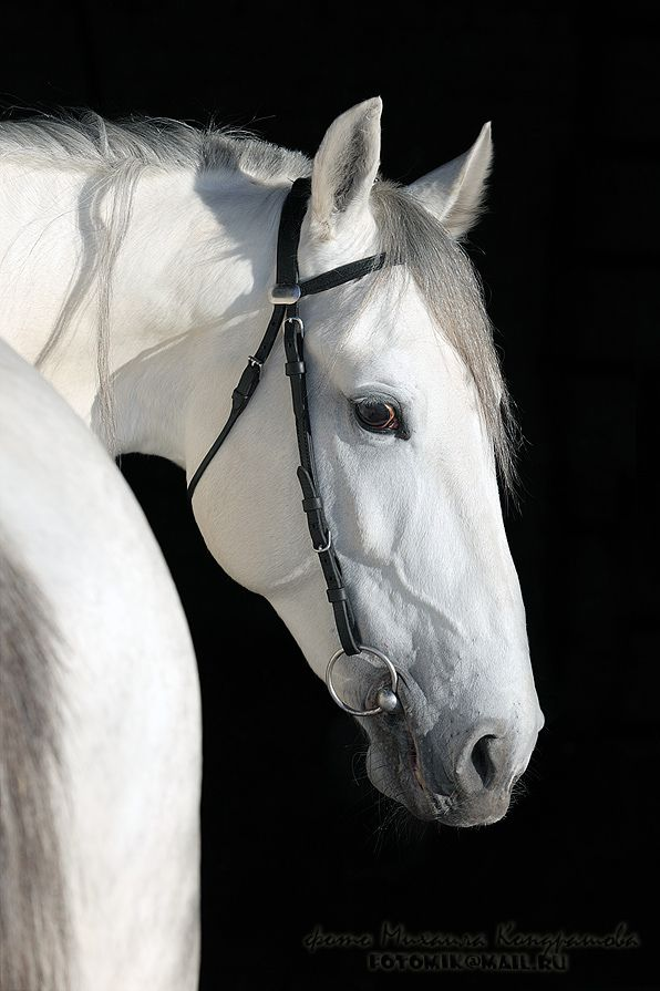 Andalusian Horse - Horse Photography - What a beautiful crisp clean white horse!